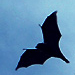Gliding Flying Fox