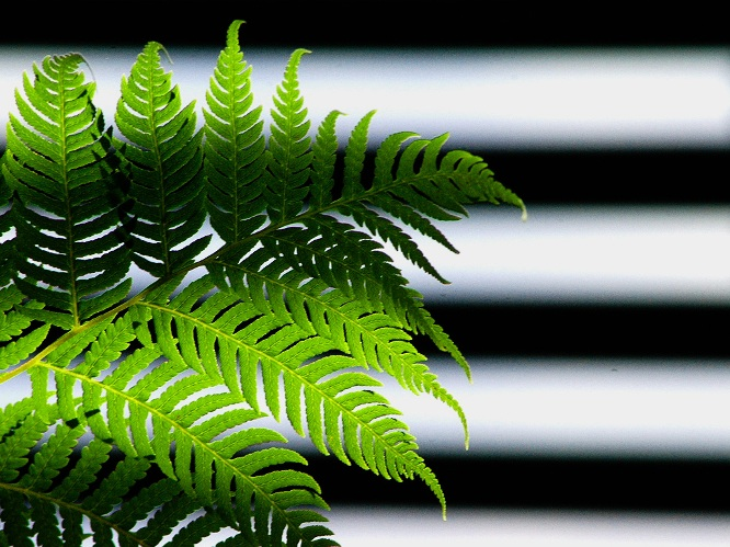 Fern Stripes: Bridging: click for previous image