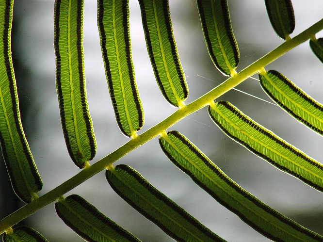 Fern Stripes: Slanting: click for previous image