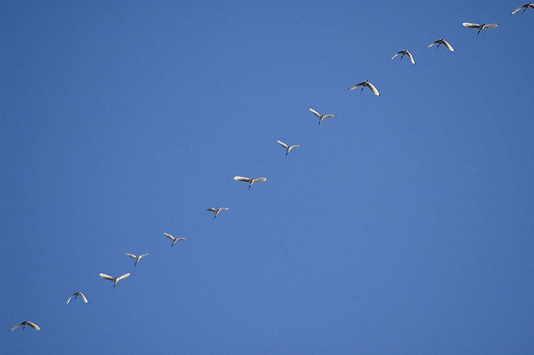 Flying Ibises: click for previous image