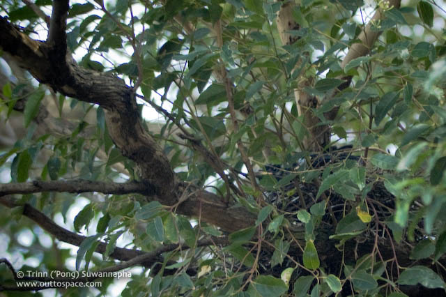 Pied Currawong Nest