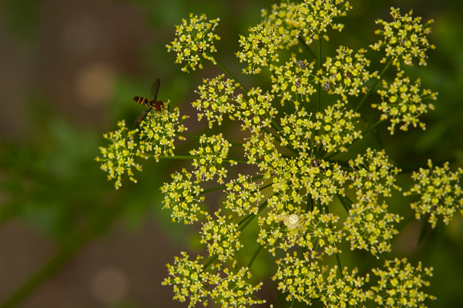 Blossoming Parsley
