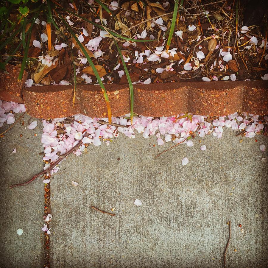 Cherry blossom on the sidewalk